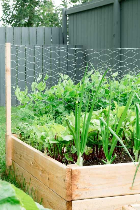 onions, peas, garden