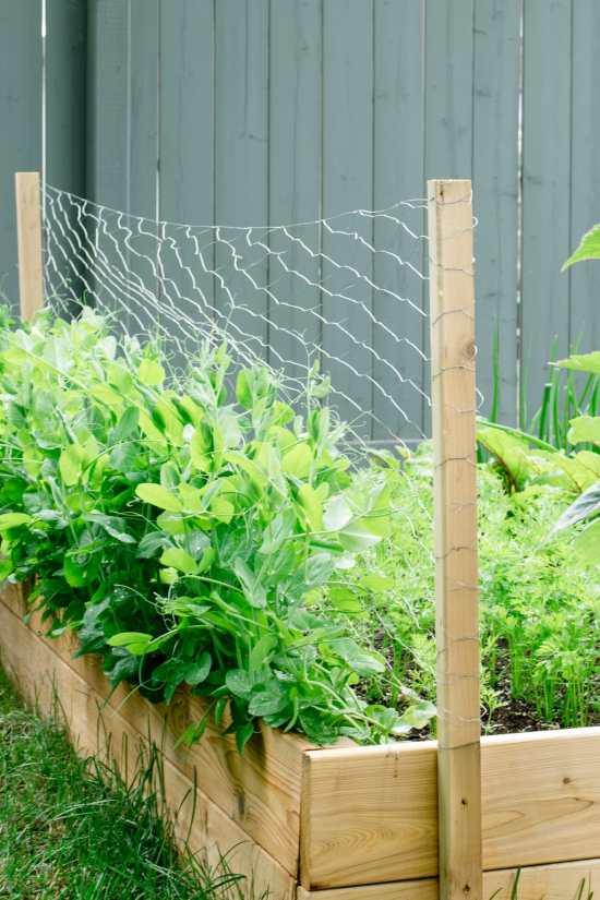 peas, garden, trellis
