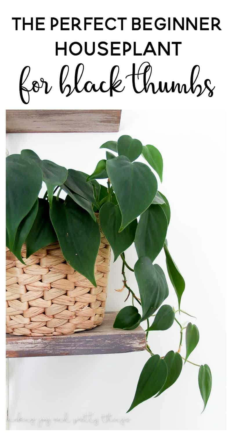philodendron | black thumb plants | black thumb gardening | indoor plants | indoor plants decor | indoor plants low light | philodendron care | philodendron plant | green thumb | plant lady | beginner houseplant | easy house plants