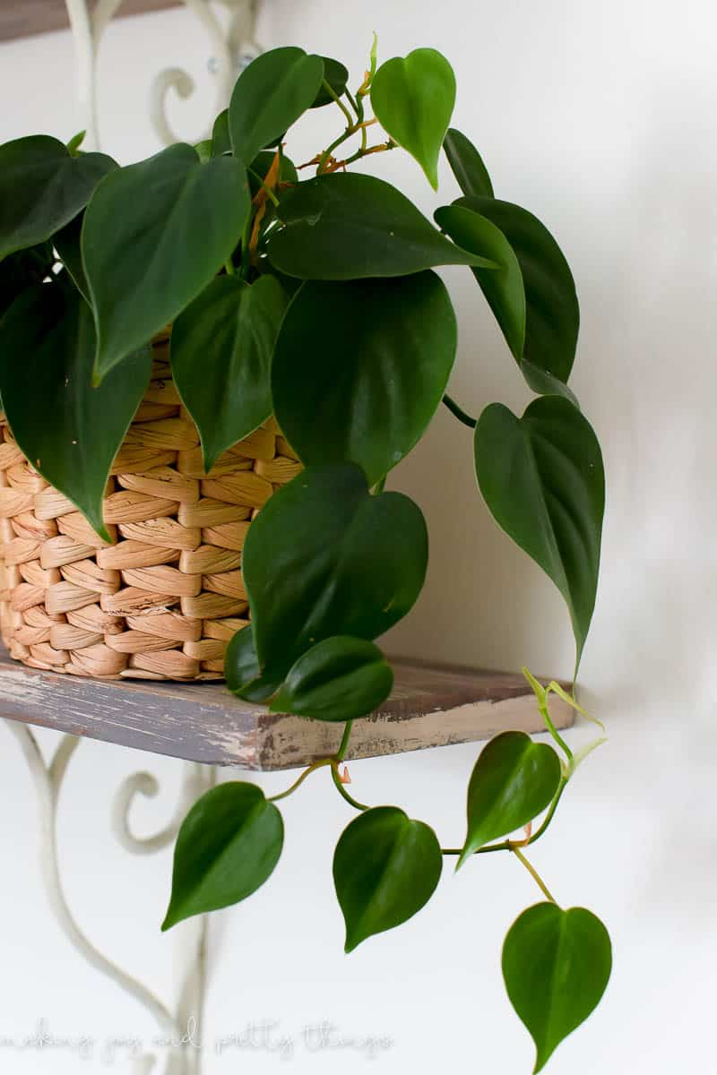 I finally found the perfect beginner house plant even if you have a black thumb!  See which plant it is and my tips for keeping it alive AND growing!