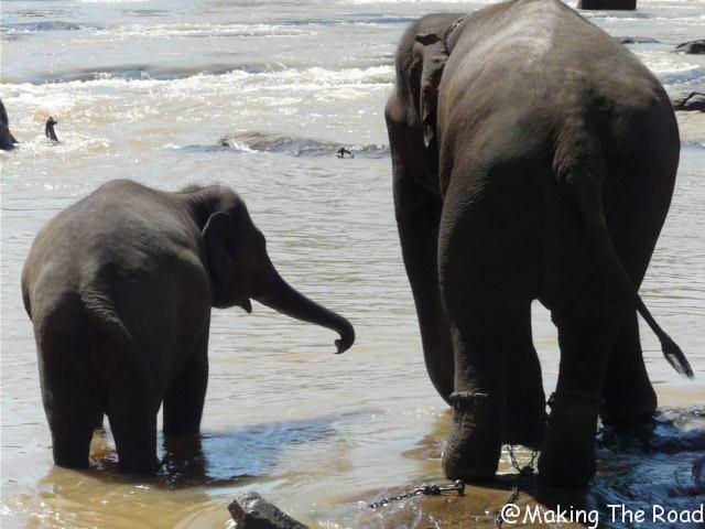 ou voir des elephants au sri lanka pinnawala blog de voyage