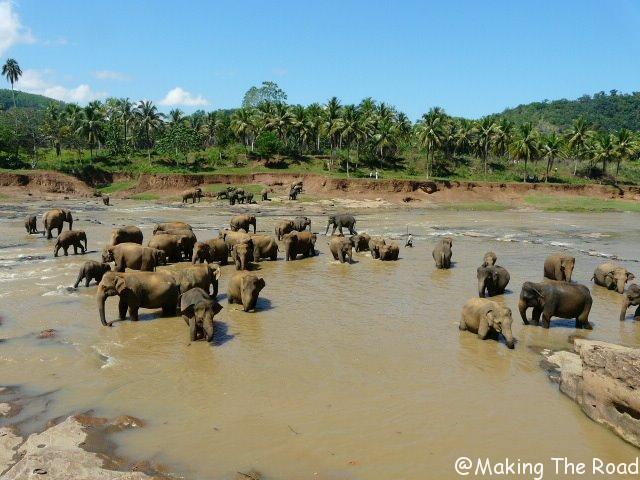 Orphelinat des éléphants à Pinnawala