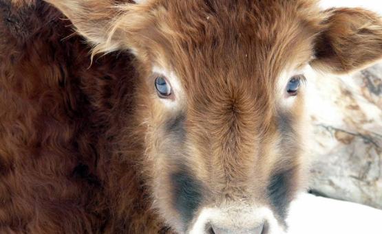 inde veau animaux ladakh