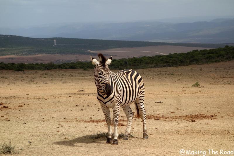 conseils afrique du sud road trip 3 semaines safari zèbre éléphant