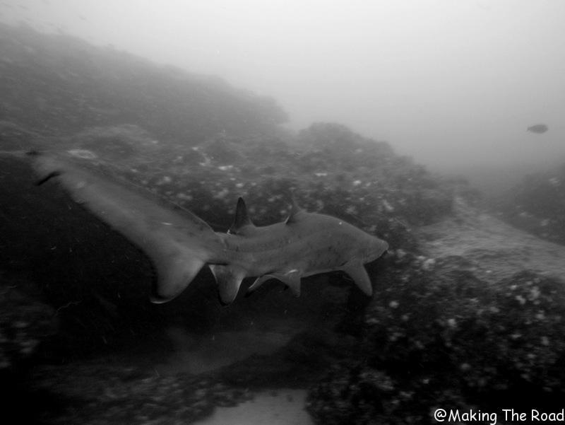 plonger avec des requins aliwal shoal afrique du sud