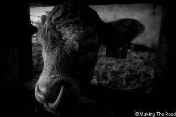veau à manger