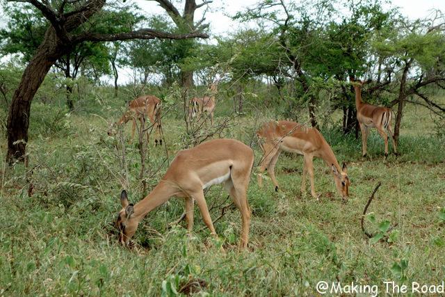 Hluhluwe Umfolozi safari antilope