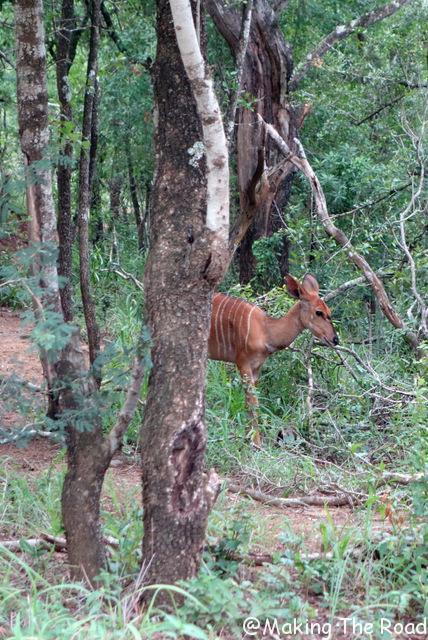 reserve afrique du sud Hluhluwe Umfolozi safari lodge