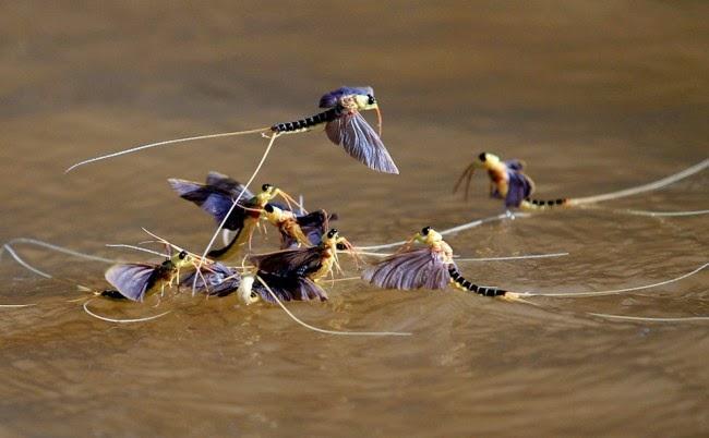 Lalat Capung