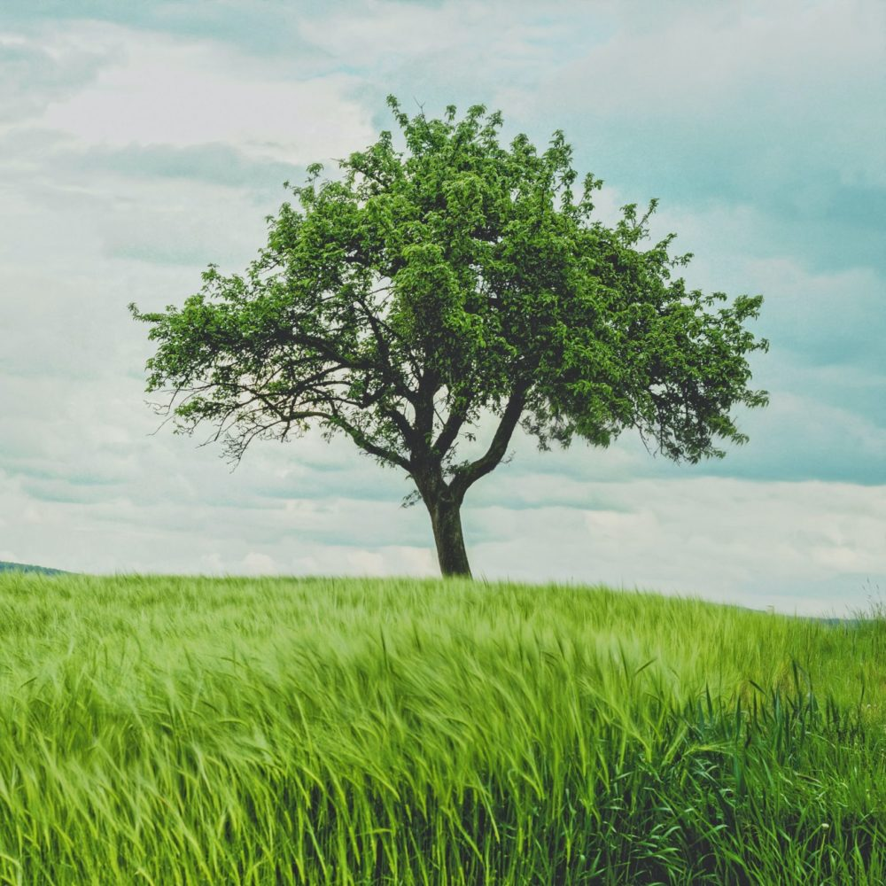 Tree in a meadow with tall grass