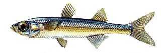 gumus-baligi Türkiye'deki balık çeşitleri nelerdir?