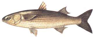 kefal Türkiye'deki balık çeşitleri nelerdir?