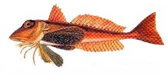 kirlangic-baligi Türkiye'deki balık çeşitleri nelerdir?