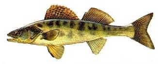 sudak Türkiye'deki balık çeşitleri nelerdir?