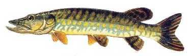 turna Türkiye'deki balık çeşitleri nelerdir?