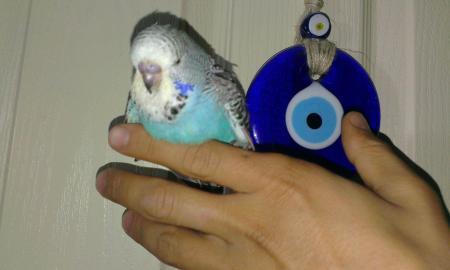 Yavru muhabbet Kusu,Muhabbet kuşu, Muhabbet kuşu hakkında, muhabbet, muhabbet kuşu sahiplenirken dikkat edilmesi gerekenler,