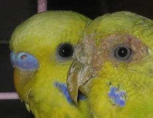 muhabbet kusu mantar hastaligi ve cozumu Kafes Kuşlarında Mantar Hastalığı