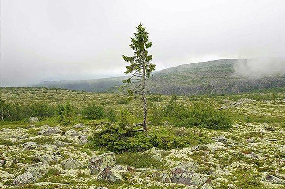 9500-yasindaki-agac-1 Dünyanın En Yaşlı Ağacı 9500 Yaşında!