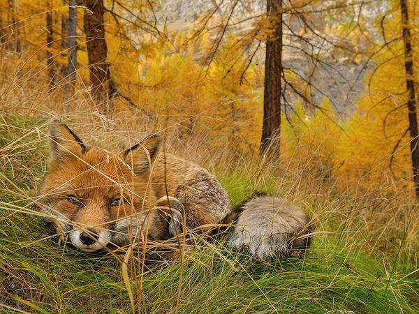 fox-gran-paradiso-italy_87531_600x450 2015 Yılı National Geographic
