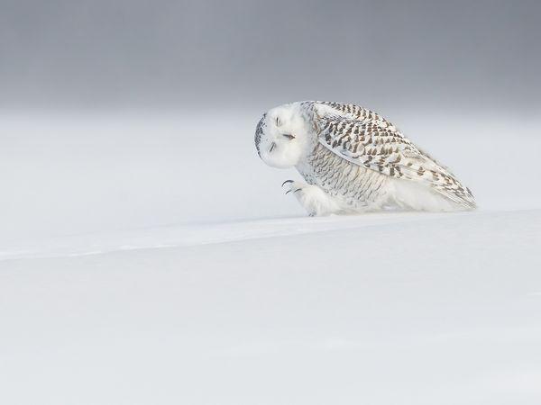 owl-snow-canada_89333_600x450 2015 Yılı National Geographic