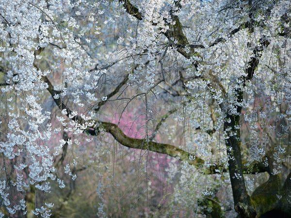 weeping-cherry-blossoms-kyoto_90432_600x450 2015 Yılı National Geographic