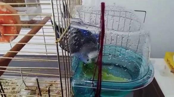 -banyo2- Muhabbet Kuşları Hakkında