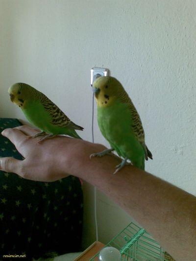 evcilmuhabbetkusu-- Muhabbet Kuşları Hakkında