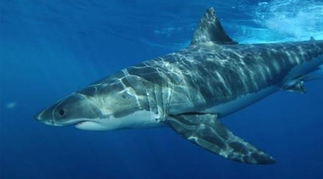 -köpek balığı- Yeryüzünde İnsan Ölümüne En Çok Sebep Olan Canlılar ( Sıralamaya Dikkat!! )