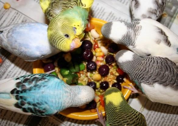 muhabbet-kuslari-mama Muhabbet Kuşları Hakkında