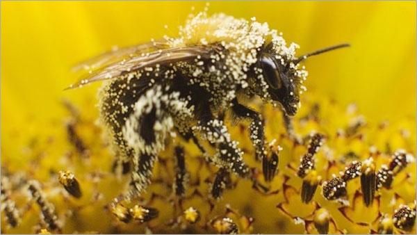 Arı poleni nedir? Nelere İyi Gelir?