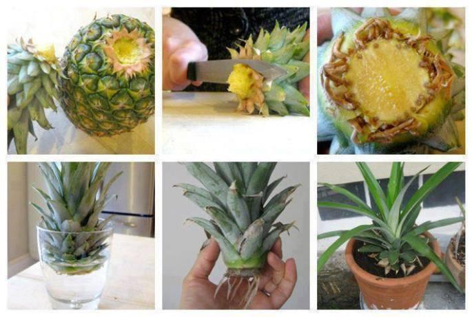 Ananas Meyve Midir Yoksa Sebze Mi?