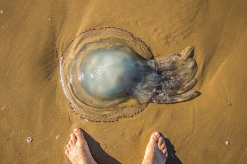 jellyfish on sand