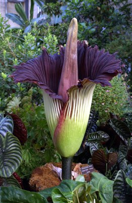 giant-corpse-flower