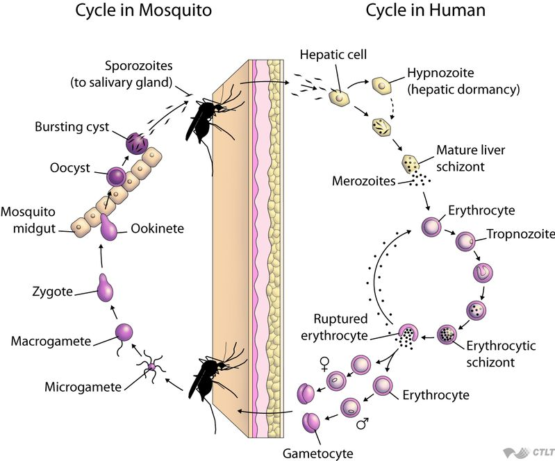 Life Cycle – Malaria Site