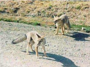 Patagonian foxes