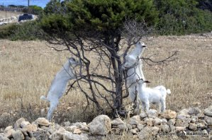 Kid goats on tree, Ano Koufonissi