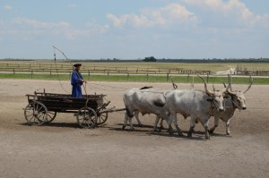 Hungarian greys semi-domesticated cattle