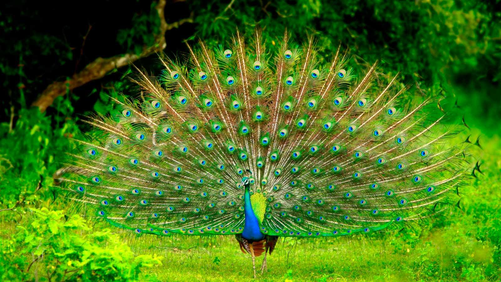 نتيجة بحث الصور عن الحياة البرية سريلانكا
