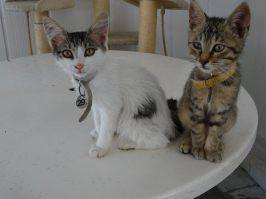 kitten-297-tabby