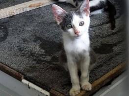 oct-2018-grey-white-kitten