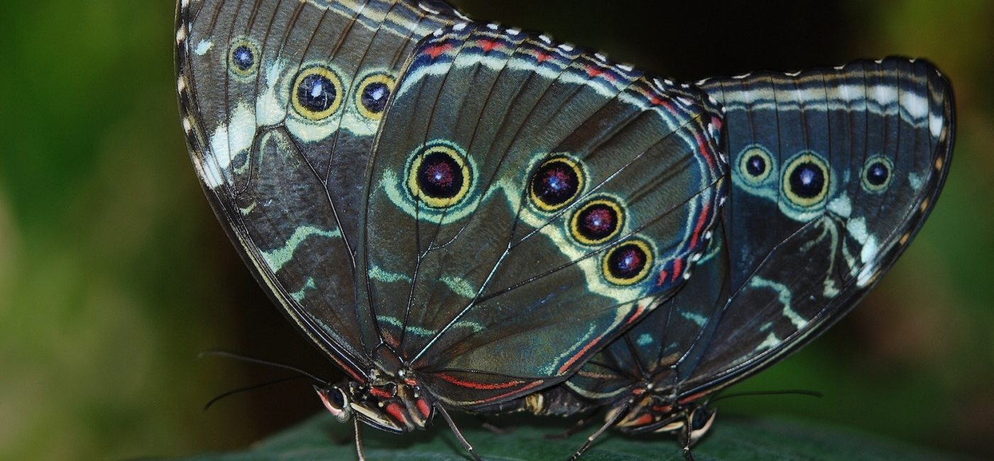 Two blue-toned butterflies close up on a leaf.
