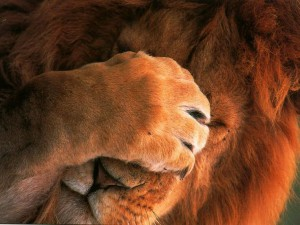 frustrated lion