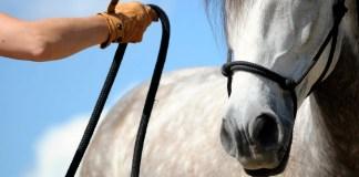 Hest trænes fra jorden