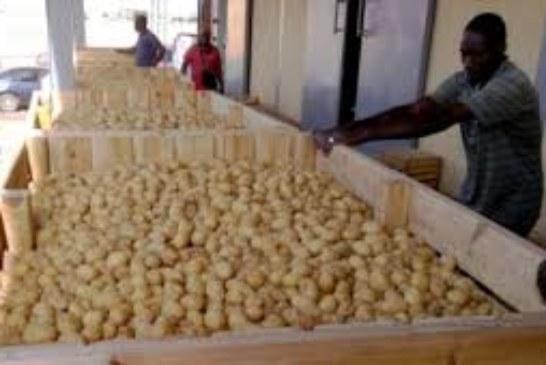 Pomme de terre au Mali : Les efforts du GDCM pour la réduction du prix