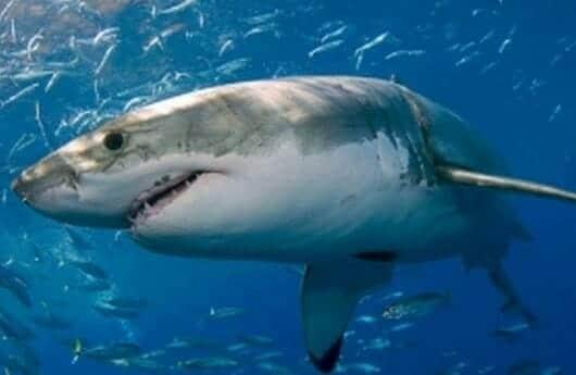Kecepatan Berenang Ikan Hiu