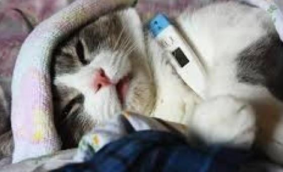 Mengobati Kucing Panas Demam Mudah Tanpa Dokter Hewan