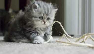 Harga Anakan Kucing Persia