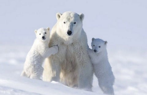 Dampak Pemanasan Global Bagi Beruang Kutub