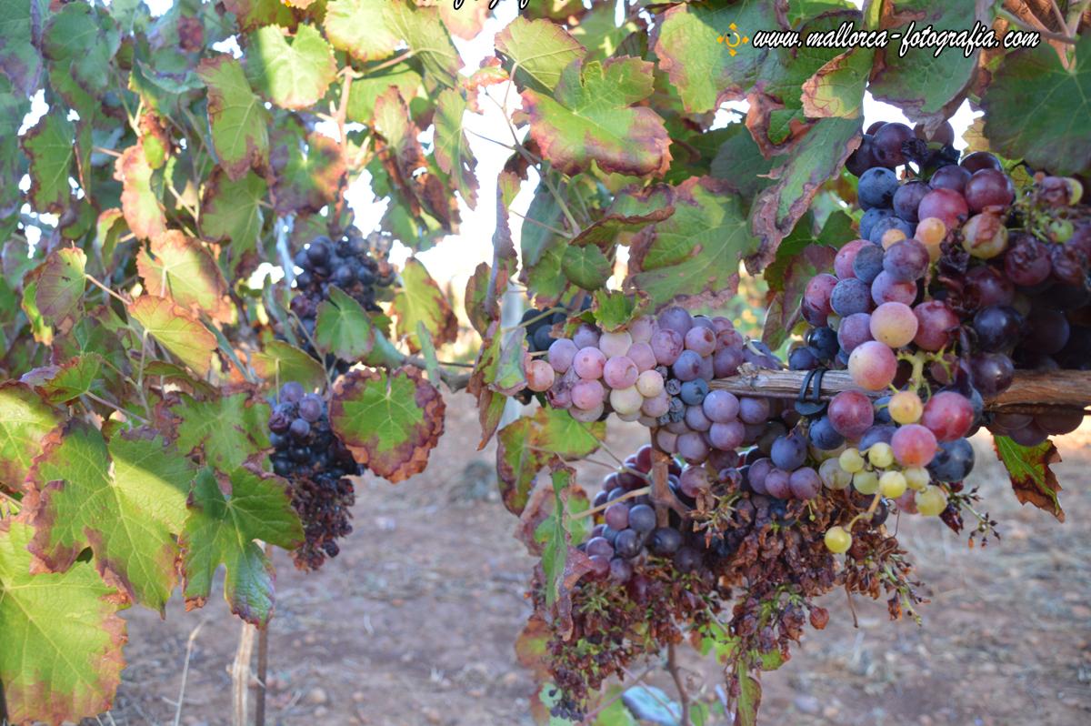 Weinreben auf der Bodega Maruccia in Llucmajor