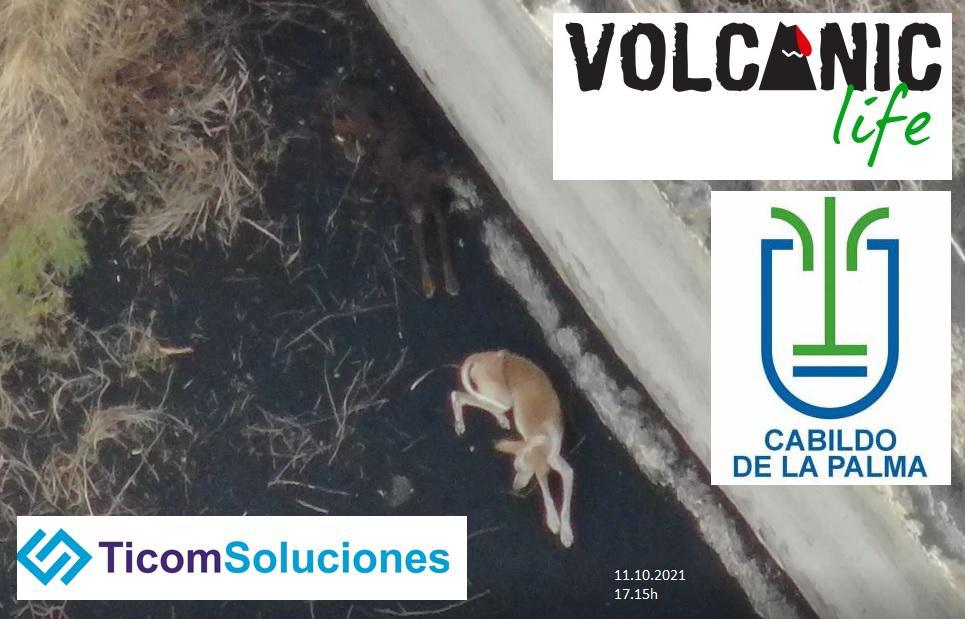Drohne bringt Futter und Wasser zu den von Lava eingeschlossenen Tieren auf La Palma